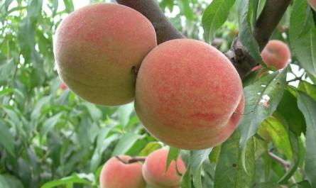 千亩桃园寻找绝迹南山甜桃