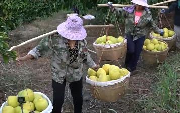 [HD][2019-12-14]风云粤商:一颗柚子的变革