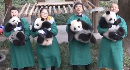 """重庆 大熊猫""""新星""""冲击高龄纪录 四小宝齐给""""祖母""""拜年"""