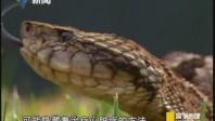 与蛇共舞 圣卢西亚矛头蝮