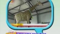 长颈鹿因乱投喂致死 被制成标本警示游客