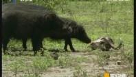 [2017-07-18]寰宇地理:非洲野猪天堂