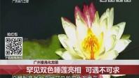 广州番禺化龙镇:罕见双色睡莲亮相 可遇不可求