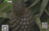 湛江雷州:菠萝滞销 3毛一斤没人要