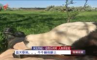 网友热帖:动物乐呵呵 人类笑哈哈 蓝天草地。。。牛牛睡我腿上