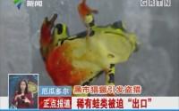 """厄瓜多尔:黑市猖獗引发盗猎 稀有蛙类被迫""""出口"""""""