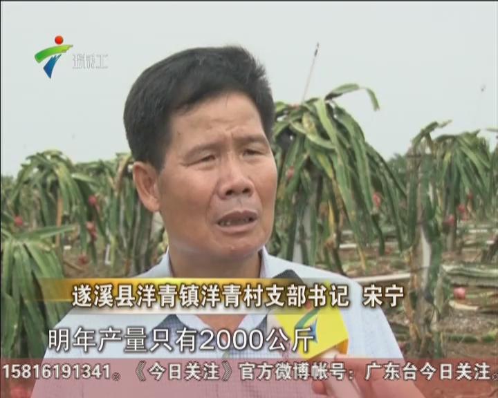 湛江:火龙果专业村受重创  存货急寻出路