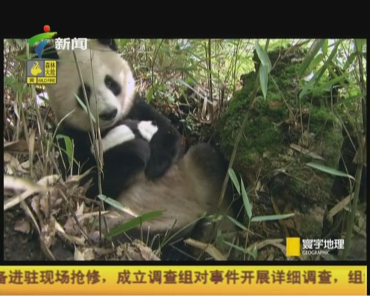 20151016《寰宇地理》(第2943期):魅力中国——国宝大熊猫