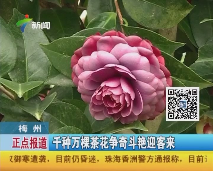 梅州:千种万棵茶花争奇斗艳迎客来