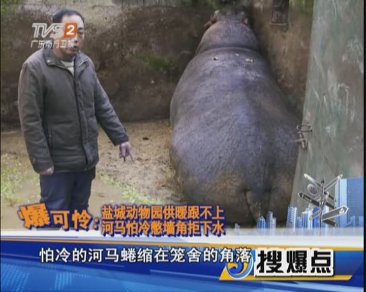 爆可憐:鹽城動物園供暖跟不上  河馬怕冷憋墻角拒下水