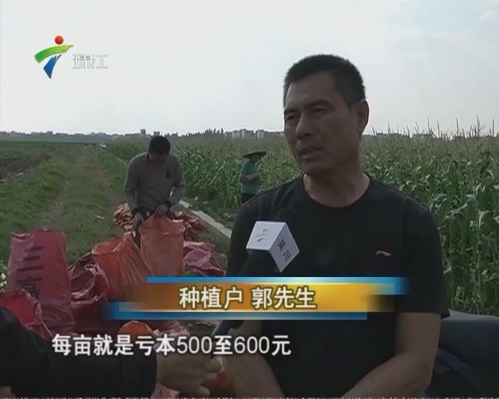 湛江:玉米喜获丰收 滞销愁坏农户