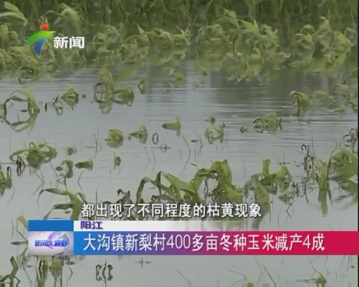 阳江:大沟镇新梨村400多亩冬种玉米减产4成
