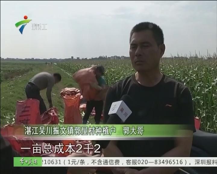 湛江:万吨玉米滞销 农户惨淡过年