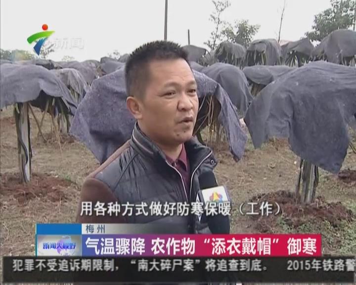 """梅州:气温骤降  农作物""""添衣加帽""""御寒"""