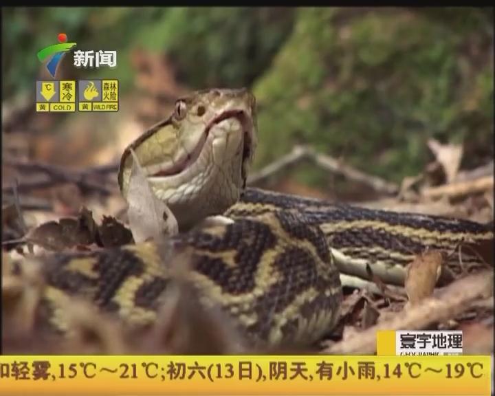 """""""與蛇共舞:尋找烙鐵頭"""""""