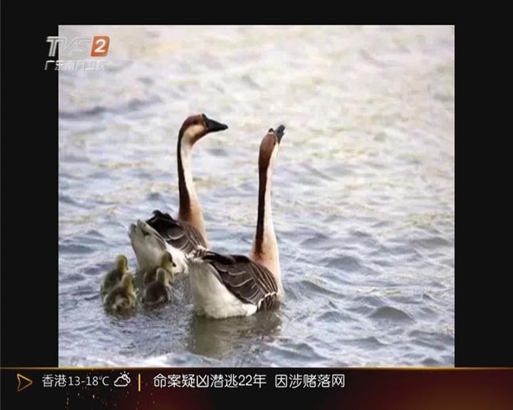 """梅州:亲吻鹅成""""网红"""" 下场""""悲惨"""""""