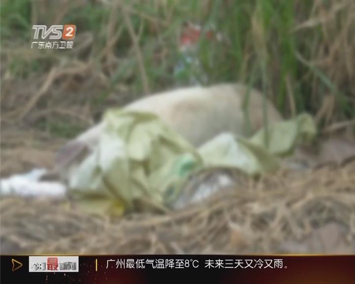 肇庆:十头死猪摆路边 村民忧影响健康