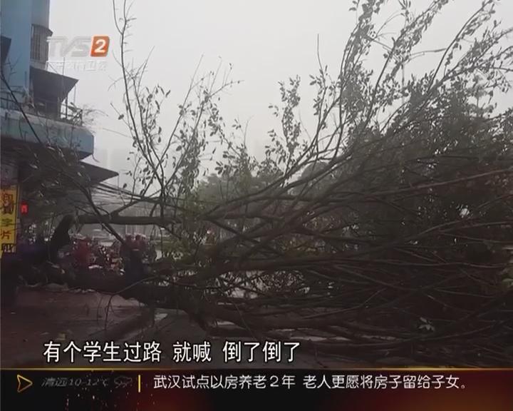 江门:清晨大树倒 险砸中开学童
