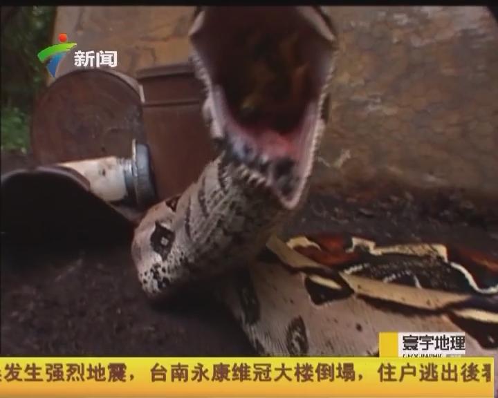 """""""與蛇共舞2:科租美島巨蚺"""""""
