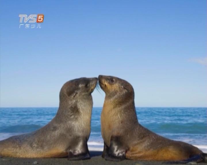 来自海洋的大眼精灵——国际海豹日特别节目