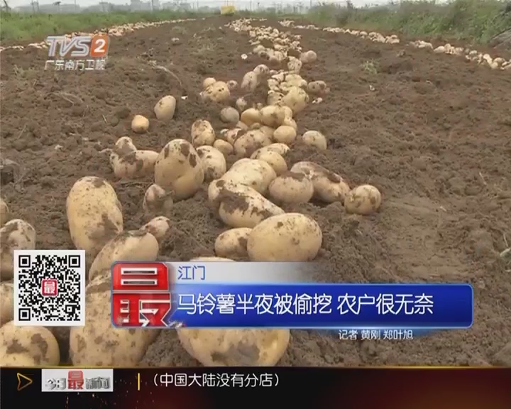 江门:马铃薯半夜被偷挖 农户很无奈