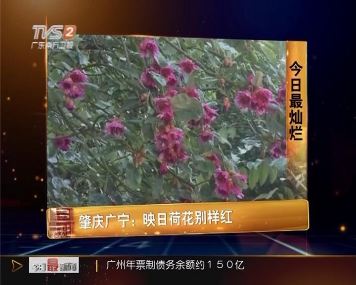 今日最灿烂 肇庆广宁:映日荷花别样红