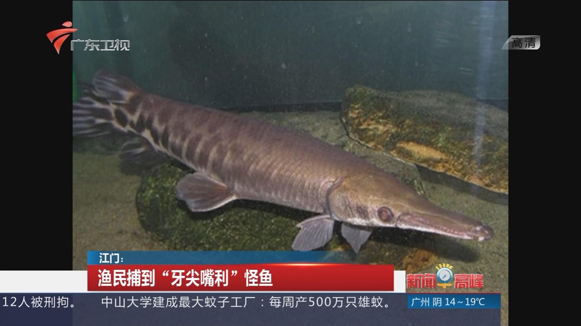 """江门:渔民捕到""""牙尖嘴利""""怪鱼"""