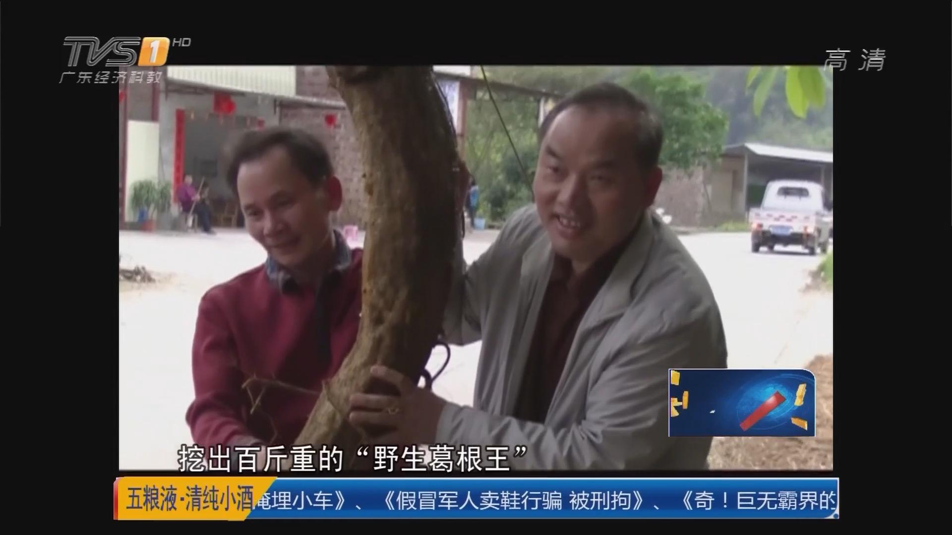 云浮:草药店老板 挖出100多斤野葛根