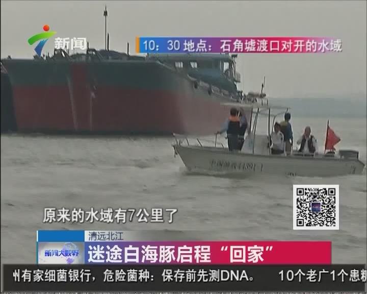 """清远北江:迷途白海豚启程""""回家"""""""