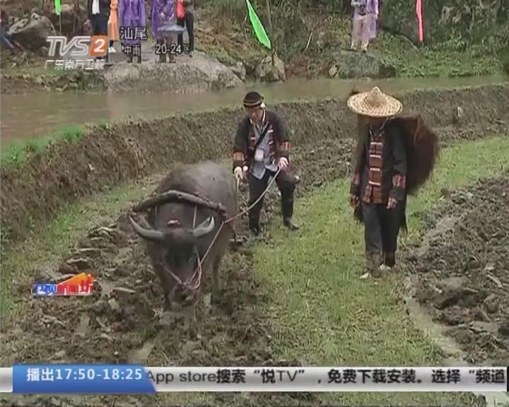 清远连山:春耕牛犁花田间 映山红遍金子山