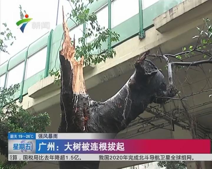 广州:大树被连根拔起