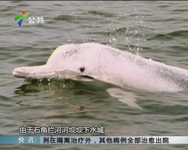 """清远:一白海豚误入北江 街坊拍照""""追捧"""""""