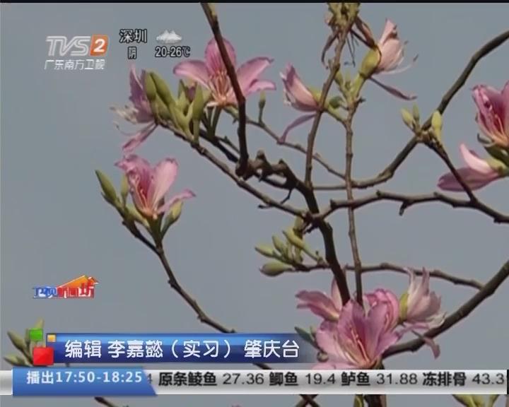 肇庆赏花:七星岩紫荆花开 春意盎然