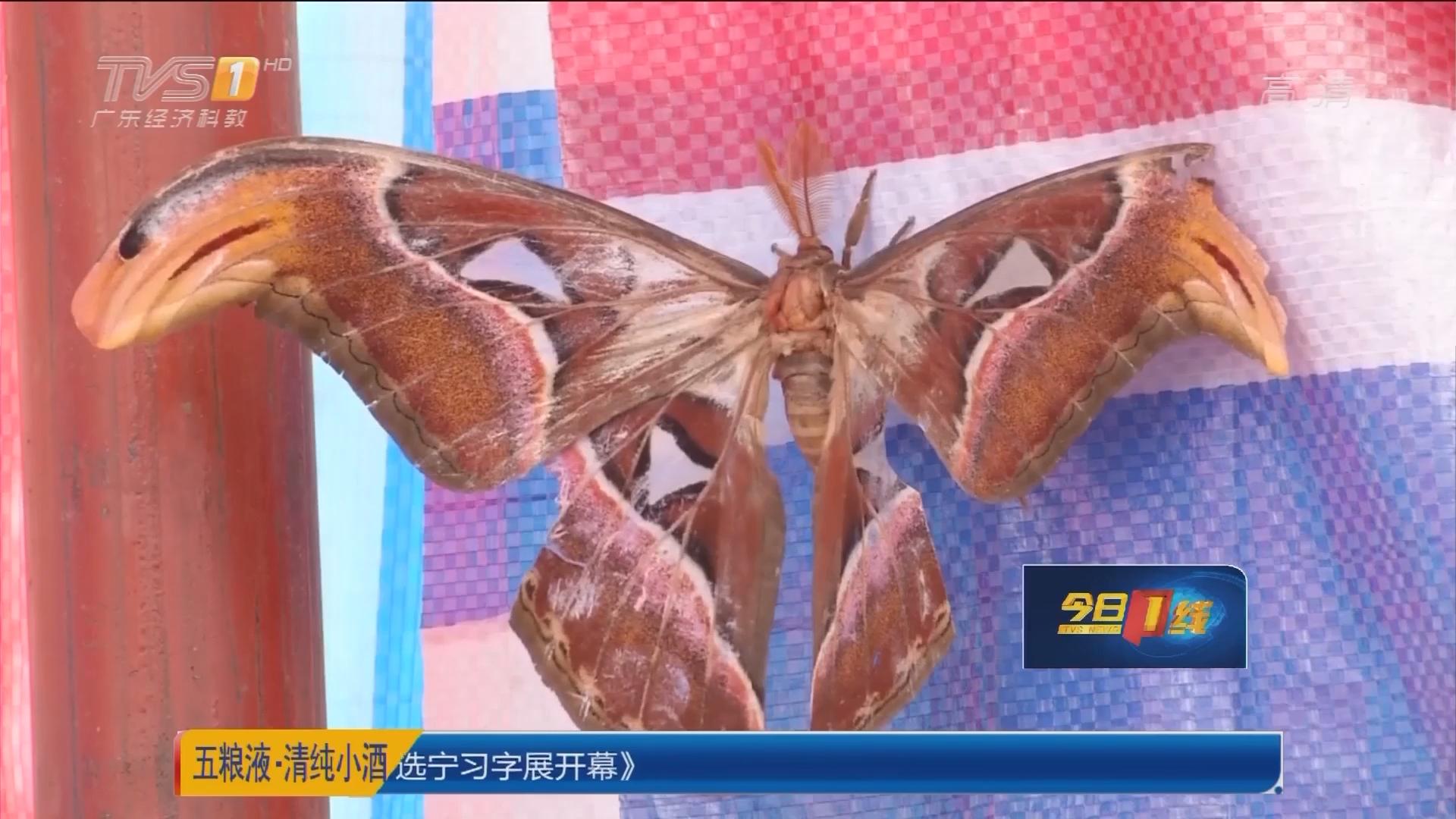 韶关始兴县司前镇:工地惊现巨型彩蝶 长达23公分