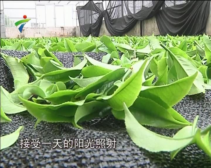 潮州凤凰:莫负春光 乌岽山顶采茶忙