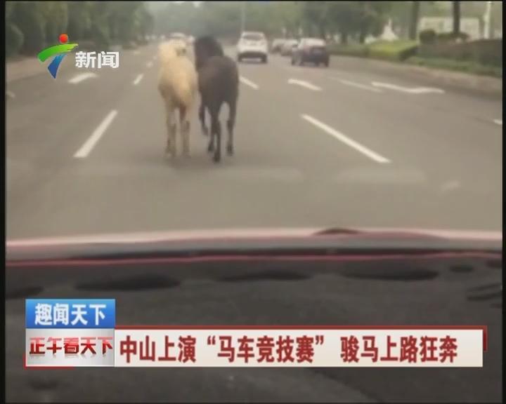 """中山上演""""马车竞技赛""""骏马上路狂奔"""