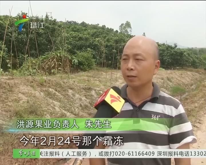 韶关:暴雨连连 杨梅枇杷产量减半