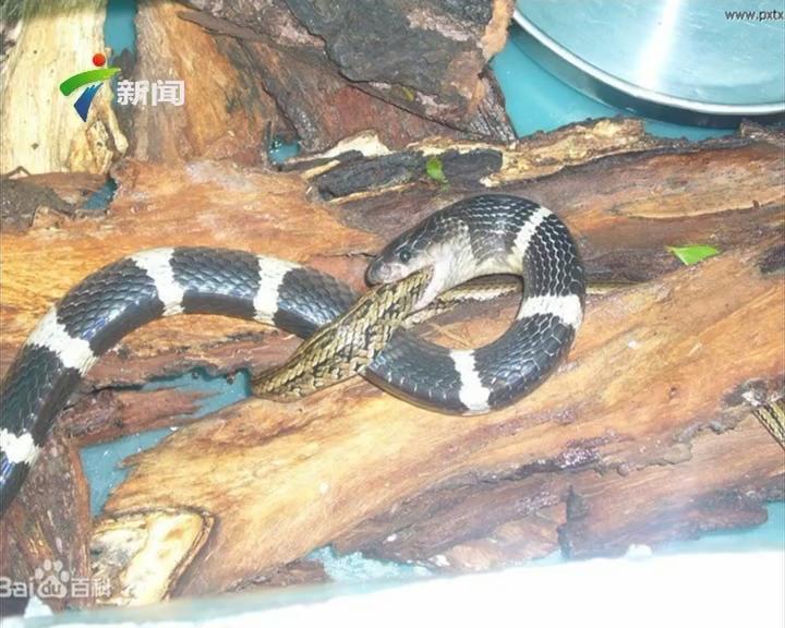 广州公园惊现银环蛇?已被捕获