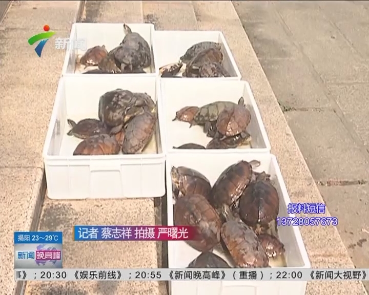 茂名:警方打击偷龟团伙 养龟鳖之乡 盗窃名龟猖狂