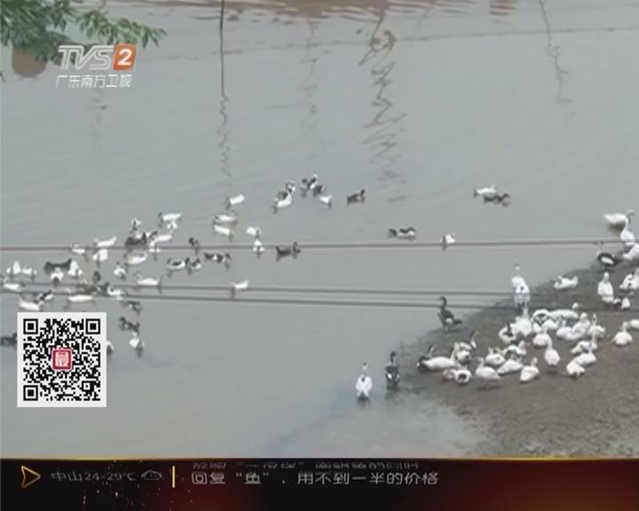 惠州:鸭场污染水源 邻县农户遭殃