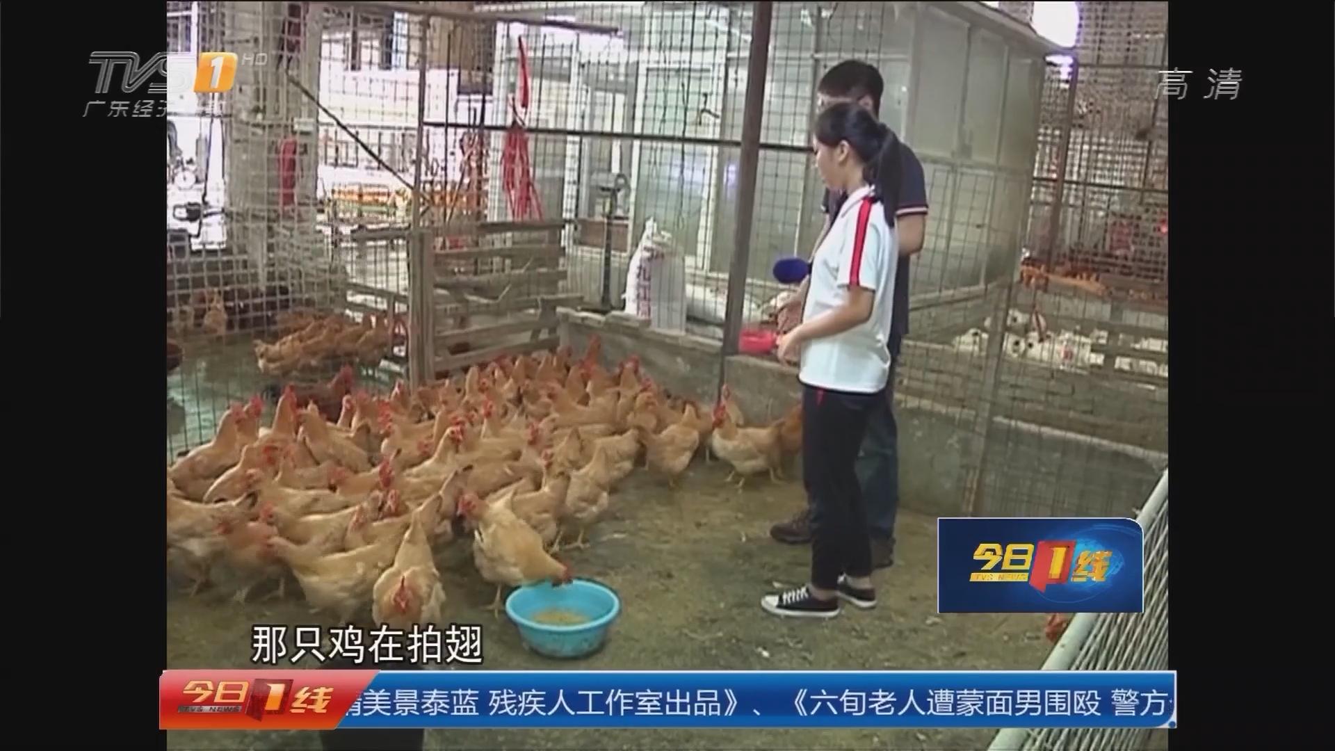 佛山:16岁女孩竟能听懂鸡说话?