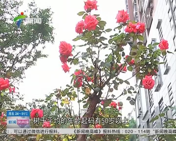 古树玫瑰:你见过长在树上的玫瑰吗?