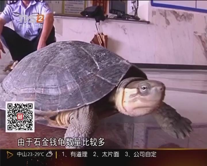 茂名化州:30万元石金钱龟被盗 警方成功侦破