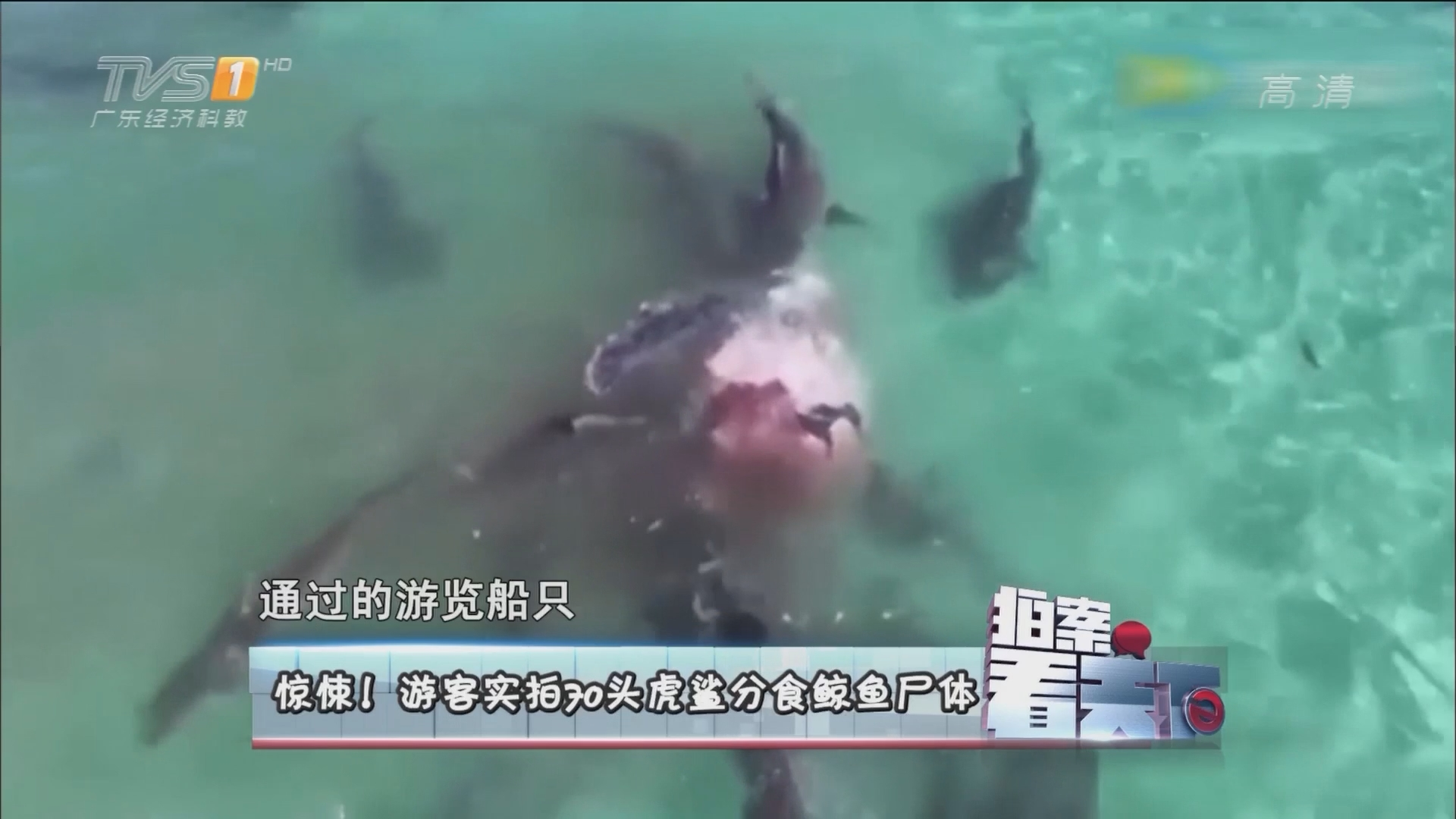 惊悚!游客实拍70头虎鲨分食鲸鱼尸体