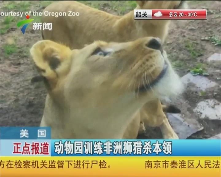 美国:动物园训练非洲狮猎杀本领