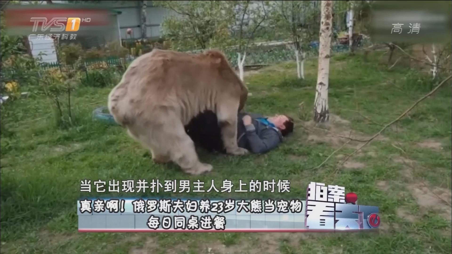真亲啊!俄罗斯夫妇 23岁大熊当宠物 每日同桌进餐