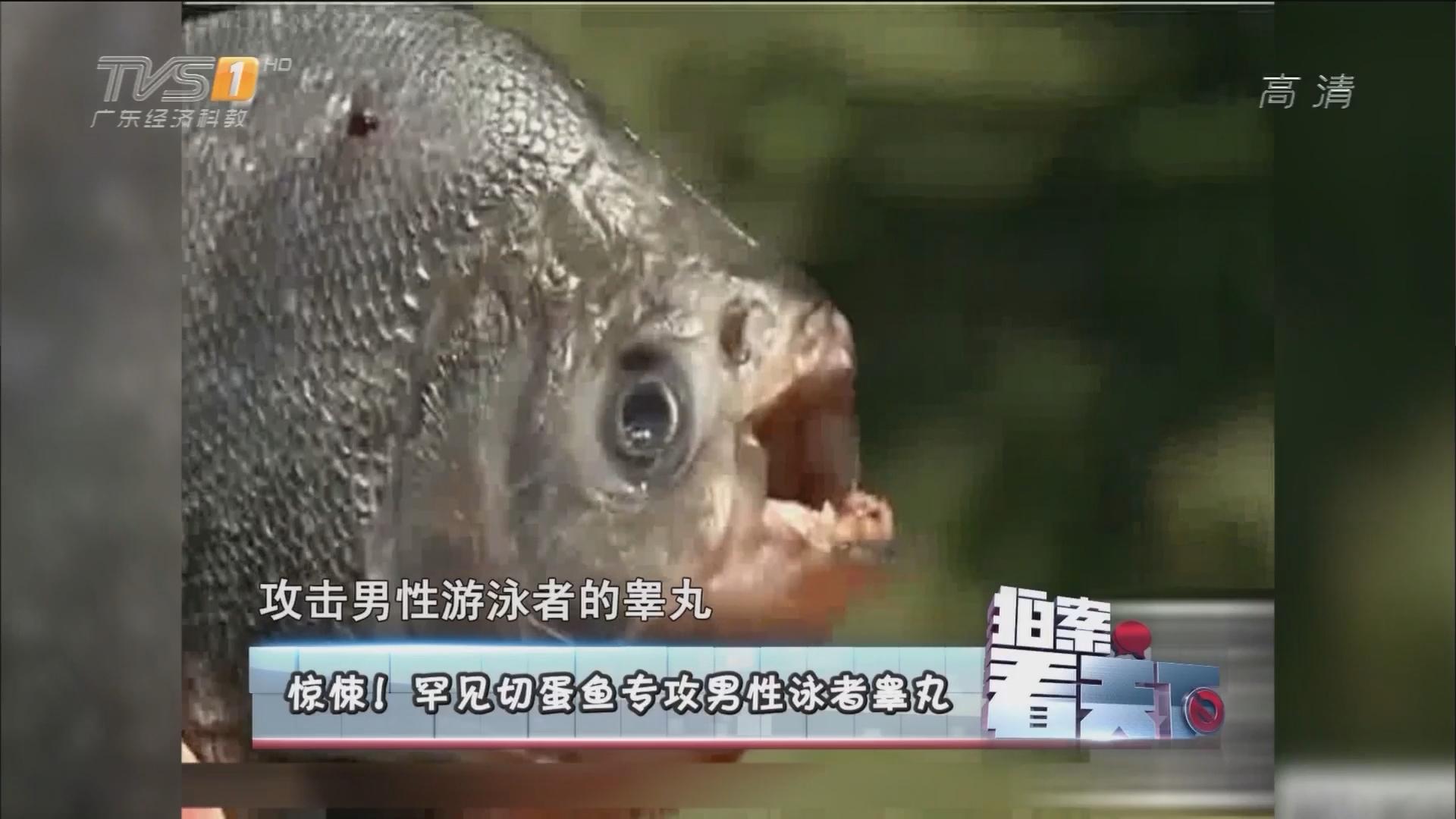 惊悚!罕见切蛋鱼专攻男性泳者睾丸