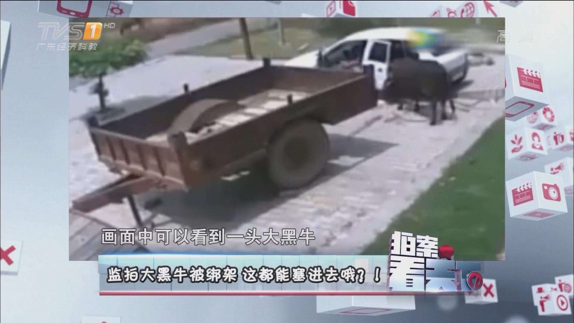 监拍大黑牛被绑架 这都能塞进去哦?!