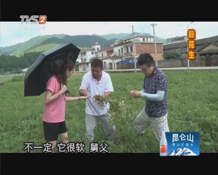 梅州蕉岭摘黑花生
