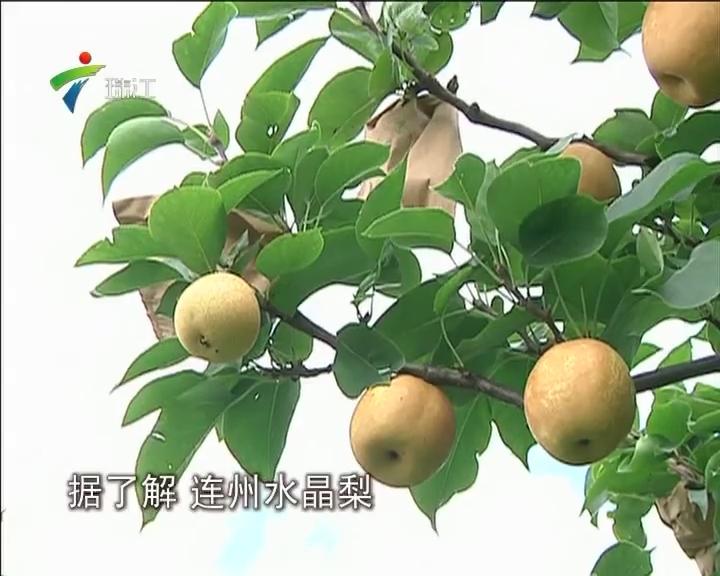 """连州:""""水晶梨""""飞上枝头助力精准扶贫"""